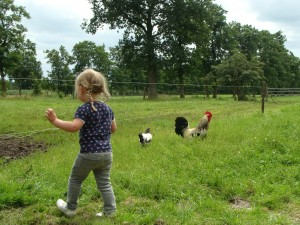 Kippen scharrelen vrij rond